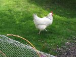 Hallo, where's this little hen off to on the wrong side of the fence