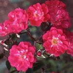 Robin Hood, Musk Rose, available from Beales, www.classicroses.co.uk