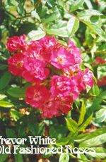 Robin Hood Musk Rose, bred by Pemberton, 1927. Available from Trevor White, www.oldroses.co.uk