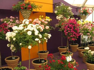 Standard roses on display at Hampton Court Flower Show 2009IMG_1085