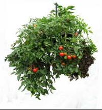 Tomatoes and peppers in a Dr Foster Perfect Plant Container