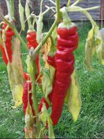 What sort of peppers are these