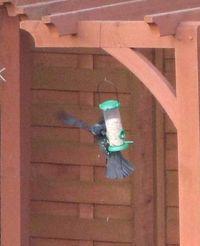 Crow feeding from bird feeder