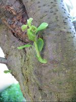 A new shoot on a damson after pruning.