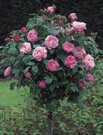 Mary Rose, grown as a standard, bred by David Austin Roses