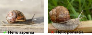 The snail on the left is the one to look out for. Licensed under the Creative Commons Sharealike 3.00 license.