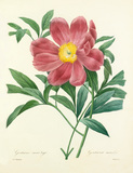 Pivoine officinale a fleurs simples  Paeonia officinalis Mas. Available from RHS Prints.