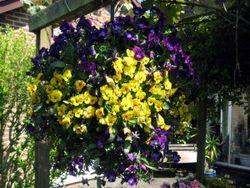 Violas-4-spring-2010-300x225