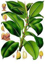Rubber Plant, Ficus elastica
