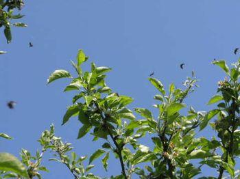 Fruitlet-mining tortrix in flight (probably). Copyright Helen Gazeley