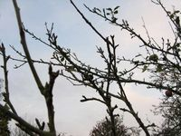 Egremont Russet entering dormancy for winte004