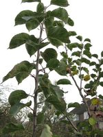 Bramley Seedling still in full leaf in November003