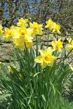 Daffodils by Ian Britton. Creative Commons Licence www.freefoto
