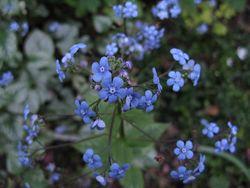Brunnera macrophylla, Siberian Bugloss