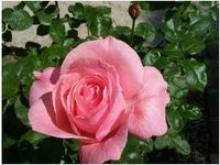 Queen Elizabeth Rose, courtesy of Love of Roses