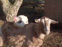 Patrick also keeps goats and chickensGoatChicken_001