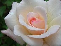 Rose picture by Spisharam. Creative Common Licence.