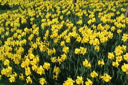 Daffodils by Ian Britton. Creative Commons License. www.freefoto