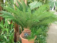 Cycas revoluta from the Cycadaceae family Author, Jared Preston Date 24.05.08 Creative Commons license