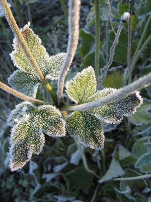 Frosted autumn anemone leaves