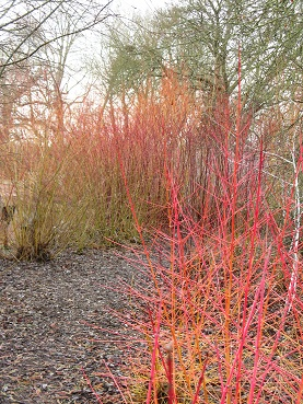 Salix, dogwood and rubus biflorus