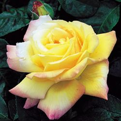 Peace Rose, from RosesUK