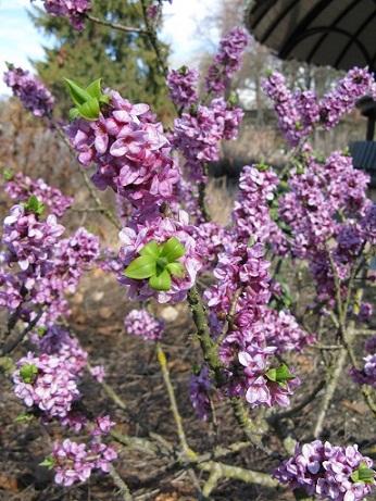 Daphne mezereum, very fragrant shrub