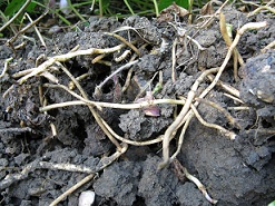 Ground elder roots in thick clay soil