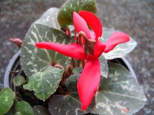 Red mini cyclamen