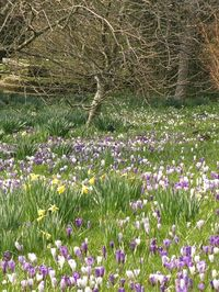 Crocuses and daffodils at Great Dixter March 2013