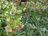 Hellebores at Great Dixter March 2013