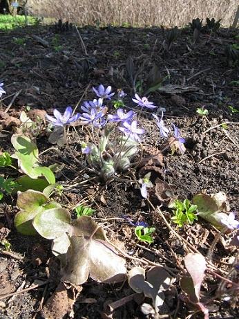 Botanische Garten, Berlin, blue flowers with ground elder
