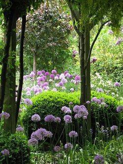 Alliums, Rose Cottage