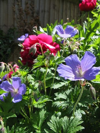 Johnson's Blue geranium and unknown peony make a lovely plant combination, May-June
