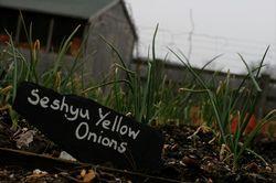 Yellow_Onions