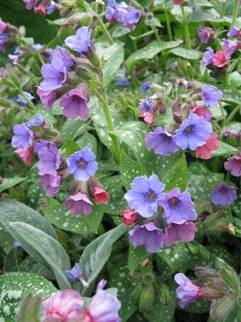 Two tone pulmonaria (lungwort)