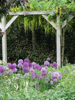 Alliums and laburnum, Rose Cottage