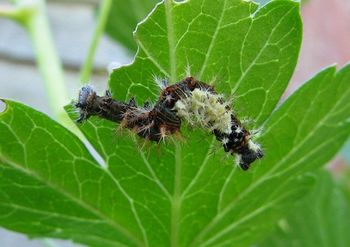 Comma butterfly caterpillar on gooseberry leaf