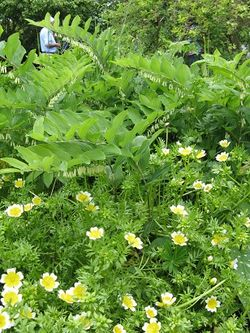 Solomon's Seal and Poached Egg Plant - nice combination