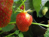 Malwina strawberry - is it ripe