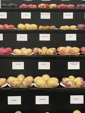 Potato varieties at Shrewsbury Flower Show, 2013