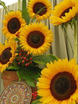 Sunflowers, Shrewsbury Flower Show, 2013