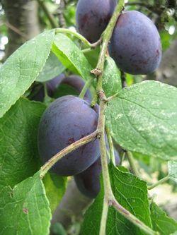 Ripe Czar plums