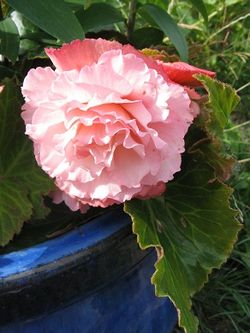 Begonia bloom.