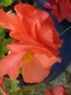 Begonia Flower, red