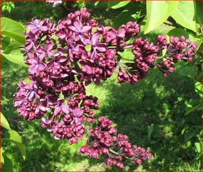 Anne Shiach lilac flowers