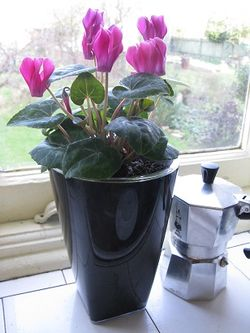 Cyclamen in a Glossy orchid pot from ebertsankey