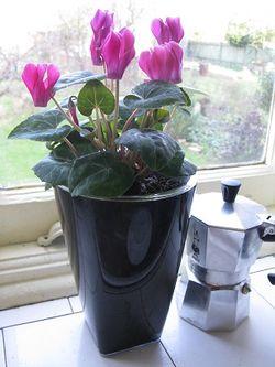Cyclamen in a Glossy orchid pot from ebertsankey
