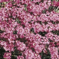 Dianthus Bagpuss from Sutton's Seeds
