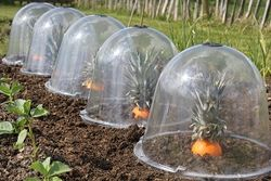 Pineoranges under Haxnicks bell cloches at Connerby Farm, Mere, Wilts